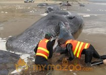 Last whale dies in mass Australian beaching