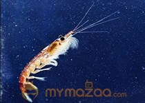 Tiny shrimp leave giant carbon footprint: scientist