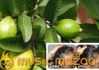 GUAVA LEAVES CAN EXTREMELY 100% STOP YOUR HAIR LOSS
