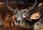 BJP expels own man in MP for 'cow slaughter'