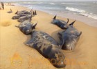 Hundreds of whales wash ashore in Tamil Nadu